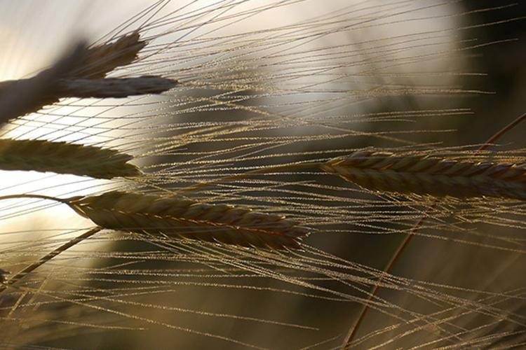 Tenuta di Fassia, wheat