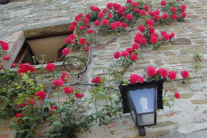 roses growing on the side of a guest house at Tenuta di Fassia